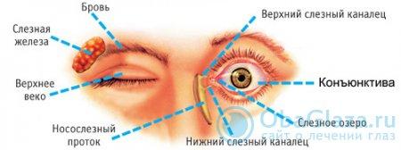 Строение глаз человека
