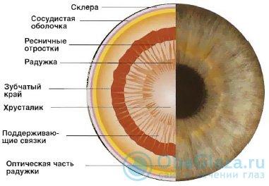 схема зрачка глаза
