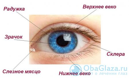 Глазные веки