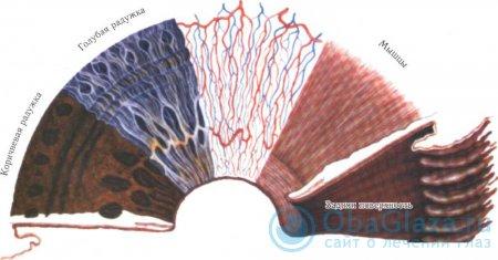 Анатомическое строение радужки