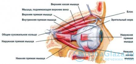 Как устроены мышцы глаза