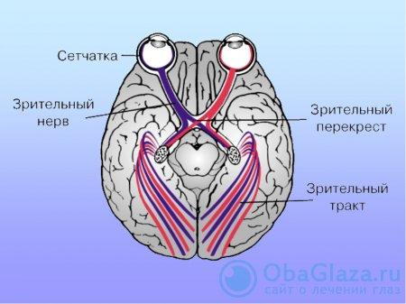 Строение нервной системы глаза
